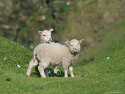 Two Lambs in June, Shetland Islands, Scotland, UK, Europe