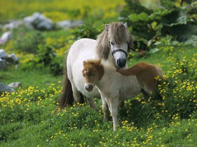 Two Shetland Ponies, Shetland Islands, Scotland, UK, Europe