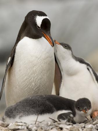 Gentoo Penguins, Petermann Island, Lemaire Channel, Antarctic Peninsula, Antarctica, Polar Regions