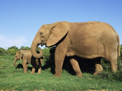 African Elephant, Loxodonta Africana, with Calf, Addo National Park, South Africa, Africa