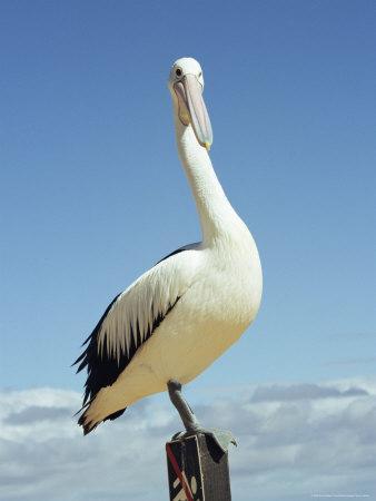 Australian Pelican, Pelecanus Conspicillatus, Shark Bay, Western Australia, Australia, Pacific