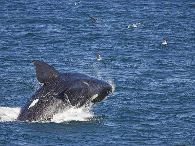 Southern Right Whale, Eubalaena Australis, Hermanus, South Africa