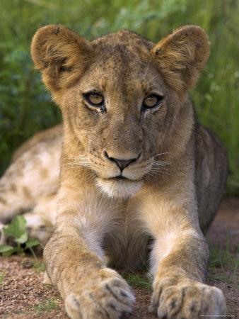 Lion Cub, Panthera Leo, in Kruger National Park Mpumalanga, South Africa