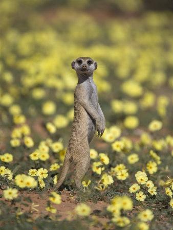 Meerkat (Suricata Suricatta), Kgalagadi Transfrontier Park, South Africa, Africa