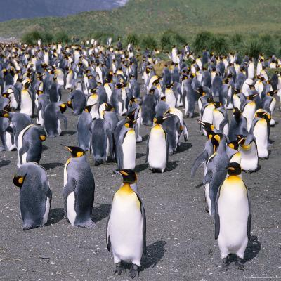 Large Group of King Penguins on South Georgia, South Atlantic