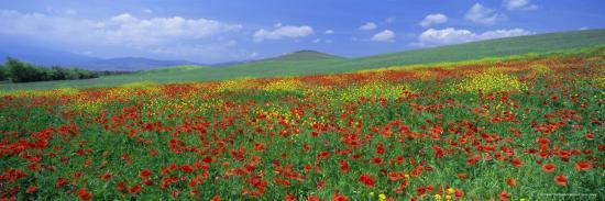 Panoramic View Of Field Of Poppies And Wild Flowers Near Montchiello Tuscany Italy Europe Photographic Print Lee Frost Allposters Com