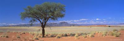 Camel Thorn Tree in Desert Landscape, Namib Rand, Namib Naukluft Park, Namibia, Africa
