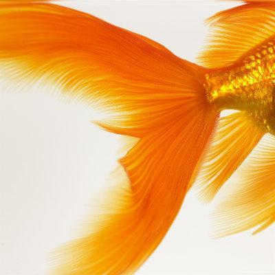 Close-up of a Goldfish Tail