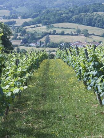 Vineyards in Countryside Near Saint Jean Pied De Port, Basque Country, Aquitaine, France