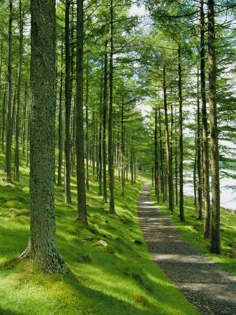 Path and Sunlight Through Pine Trees, Burtness Wood, Near Buttermere, Cumbria, England