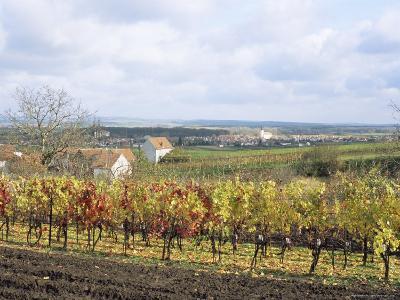 Vines at Vineyard in Autumn, Brnensko, Czech Republic