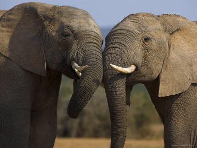 Elephants Socialising in Addo Elephant National Park, Eastern Cape, South Africa