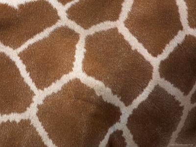 Close-Up of Skin of a Reticulated Giraffe (Giraffa Camelopardalis Reticulata), in Captivity, Africa