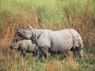 Indian One-Horned Rhinoceros (Rhino), Rhinoceros Unicornis, with Calf, Assam, India