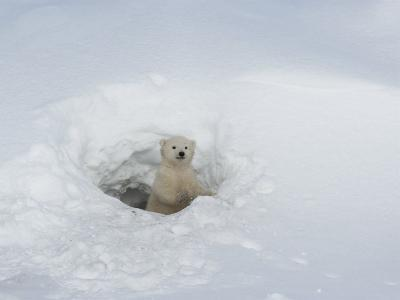 Polar Bear Cub Looking out of Den, Wapusk National Park, Churchill, Manitoba, Canada