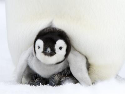 Emperor Penguin Chick, Snow Hill Island, Weddell Sea, Antarctica, Polar Regions