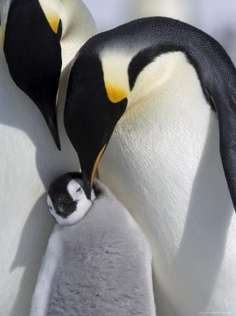 Emperor Penguin Chick and Adults, Snow Hill Island, Weddell Sea, Antarctica, Polar Regions
