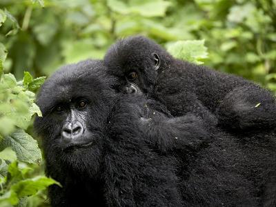 Adult Female Mountain Gorilla with Infant Riding on Her Back, Amahoro a Group, Rwanda, Africa