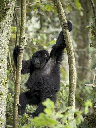 Young Mountain Gorilla Playing in the Trees, Amahoro a Group, Rwanda, Africa