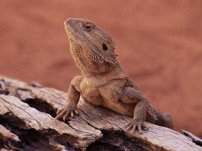 Central Bearded Dragon in Captivity, Alice Springs, Northern Territory, Australia, Pacific