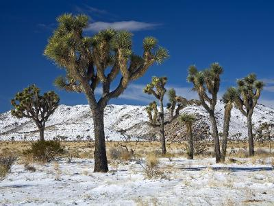 Rare Winter Snowfall, Lost Horse Valley, Joshua Tree National Park, California, USA