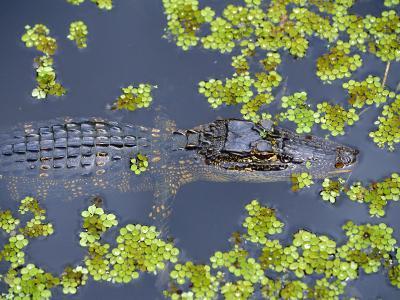 Juvenile Alligator in Swampland (Bayou) at Jean Lafitte National Historical Park and Preserve, USA