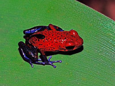 Strawberry Poison Dart Frog in a Rainforest, Costa Rica