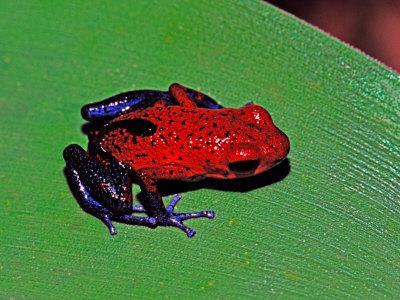 Strawberry Poison Dart Frog in a Rainforest, Costa Rica