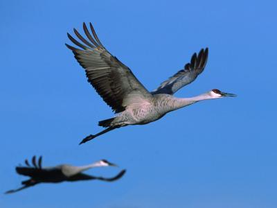 Sandhill Crane in Flight, Bosque del Apache National Wildlife Refuge, New Mexico, USA