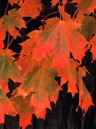 Sugar maple leaves in fall, Vermont, USA