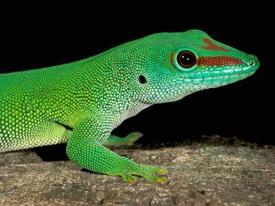 Day Gecko, Ankarana Special Reserve, Madagascar