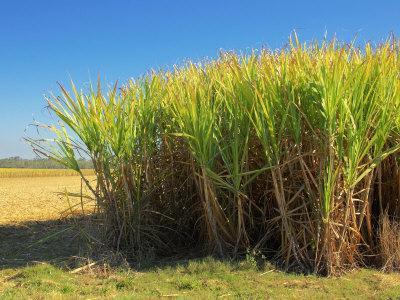 Fields of Sugarcane near Hervey Bay, Queensland, Australia