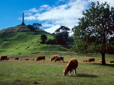 Cows, One Tree Hill, Auckland