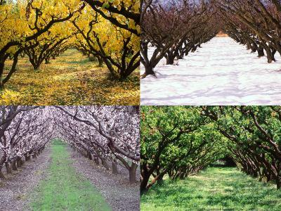 Orchard through the Seasons, Central Otago, South Island, New Zealand