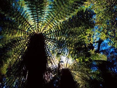 Tree Ferns, Catlins, South Island, New Zealand