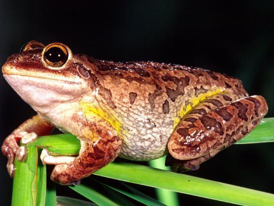 Cuban Tree Frog Florida Usa Photographic Print By David