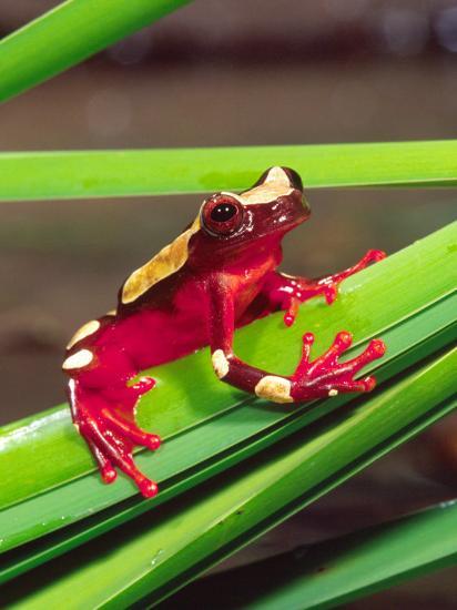 Clown Tree Frog Native To Surinam South America