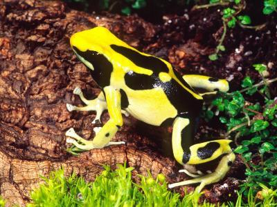 Dyeing Poison Frog, Surinam, Native to Guyana