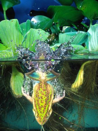 Golden Bell Frog Diving, Native to Australia