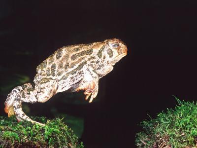 Great Plains Toad Jumping, Native to Western USA