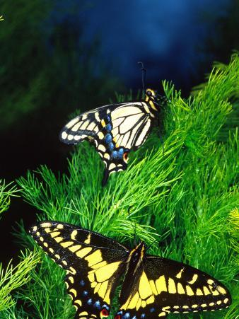 Anise Swallowtail Butterfly, California, USA