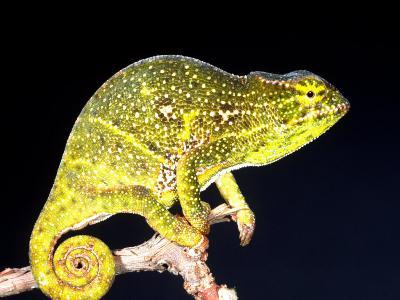 Twin Horn Chameleon, Native to Madagascar