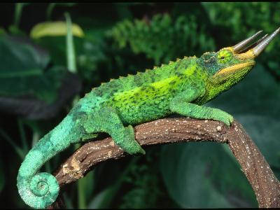 Jackson's Chameleon, Native to Eastern Africa