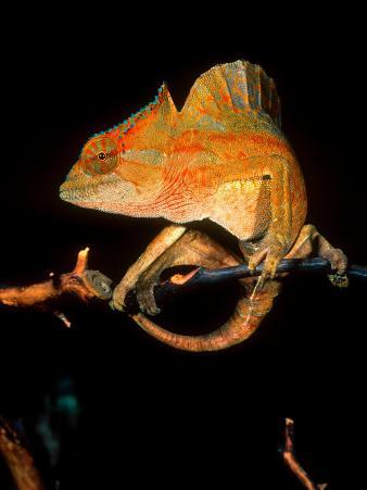 Crested Chameleon, Native to Camerouns
