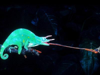 Three-horned Chameleon Capturing a Cricket, Native to Camerouns