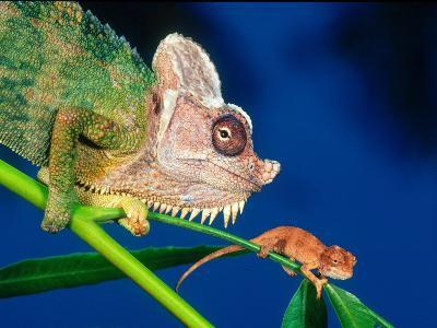 High Casque Chameleon with Young, Native to Eastern Africa