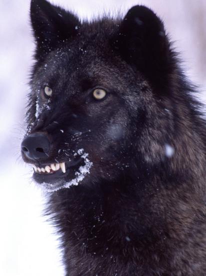 Black Timber Wolf Snarling Utah Usa Photographic Print