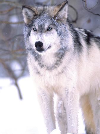 Timber Wolf, Utah, USA