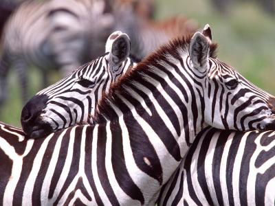 Zebras at Rest, Tanzania