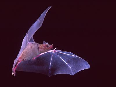 Sanborn's Long-nosed Bat, Arizona, USA